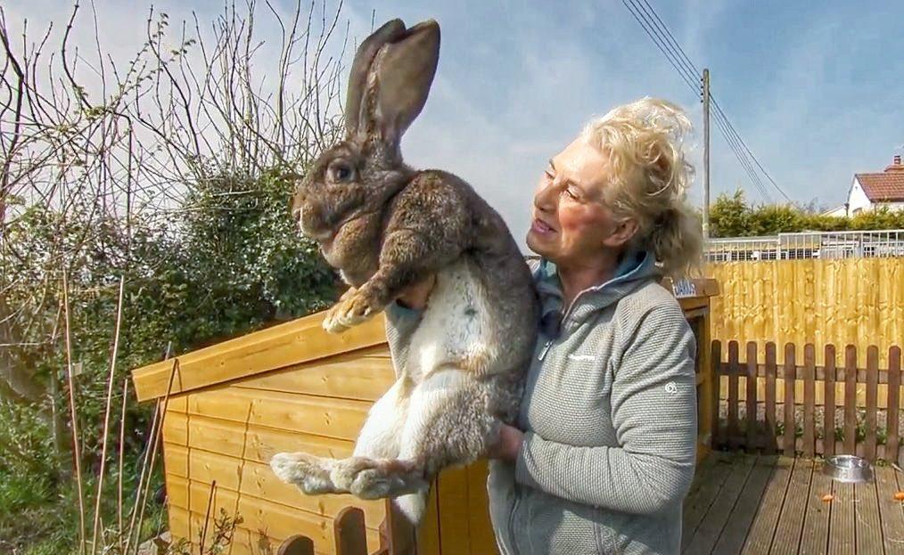 Cel mai mare iepure din lume